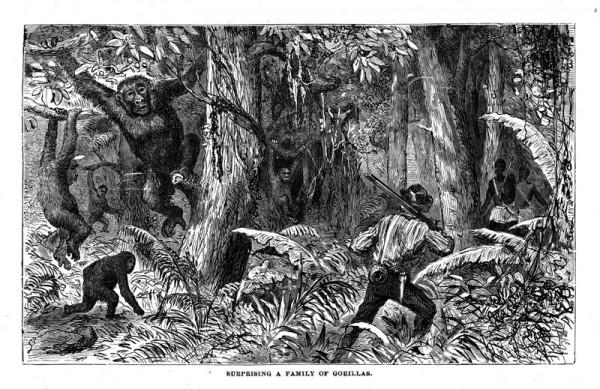 Du Chaillu surpris par une famille de Gorilles lors d'une exploration.